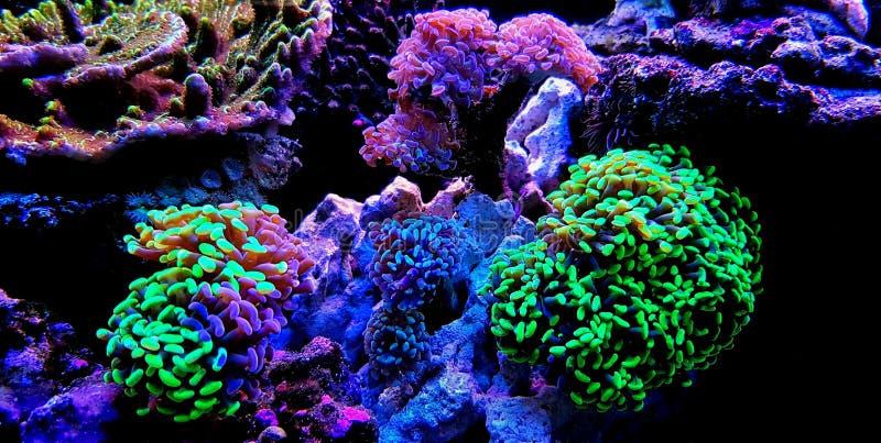 Groot de Poliep Steenachtig koraal van Euphylliaspecies in het aquarium van de zoutwaterertsader royalty-vrije stock afbeeldingen