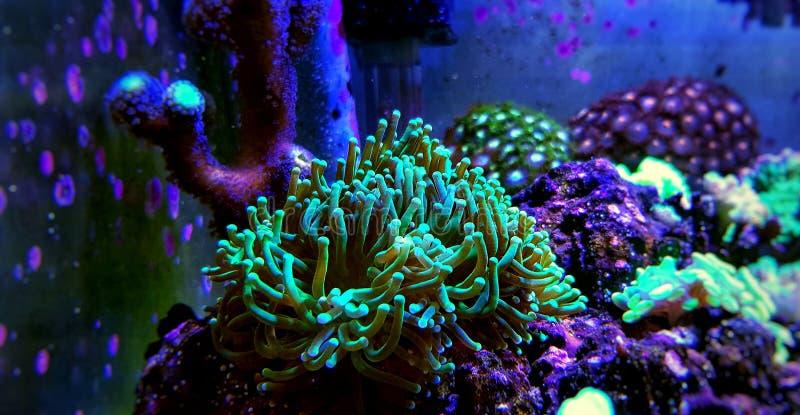 Groot de Poliep Steenachtig koraal van Euphylliaspecies in het aquarium van de zoutwaterertsader stock fotografie