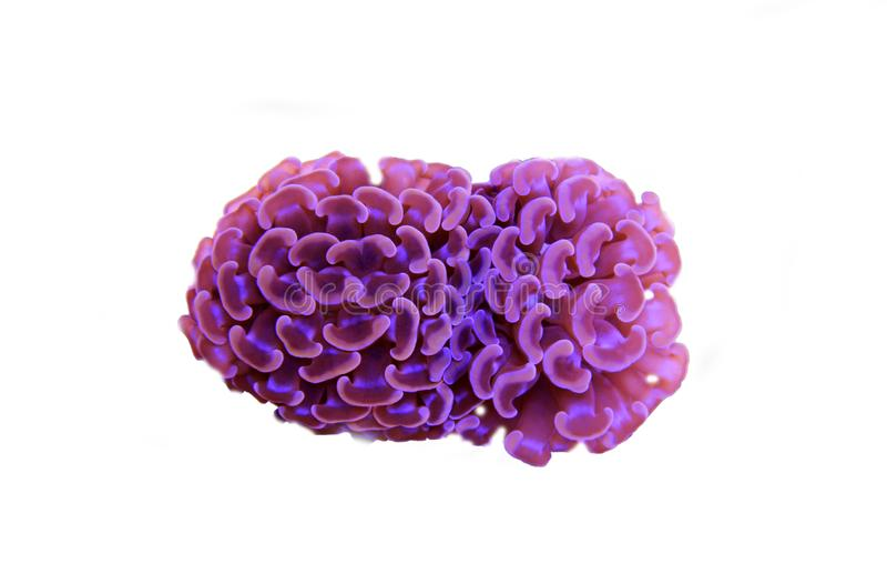 Groot de Poliep Steenachtig koraal van Euphylliaspecies in het aquarium van de zoutwaterertsader royalty-vrije stock afbeelding
