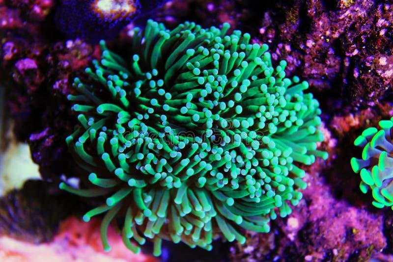 Groot de Poliep Steenachtig koraal van Euphylliaspecies in het aquarium van de zoutwaterertsader stock foto