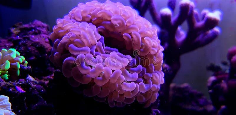 Groot de Poliep Steenachtig koraal van Euphylliaspecies in het aquarium van de zoutwaterertsader royalty-vrije stock foto
