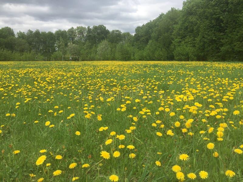 Groot gebied van gele paardebloemen in vroege de lenteochtend stock foto