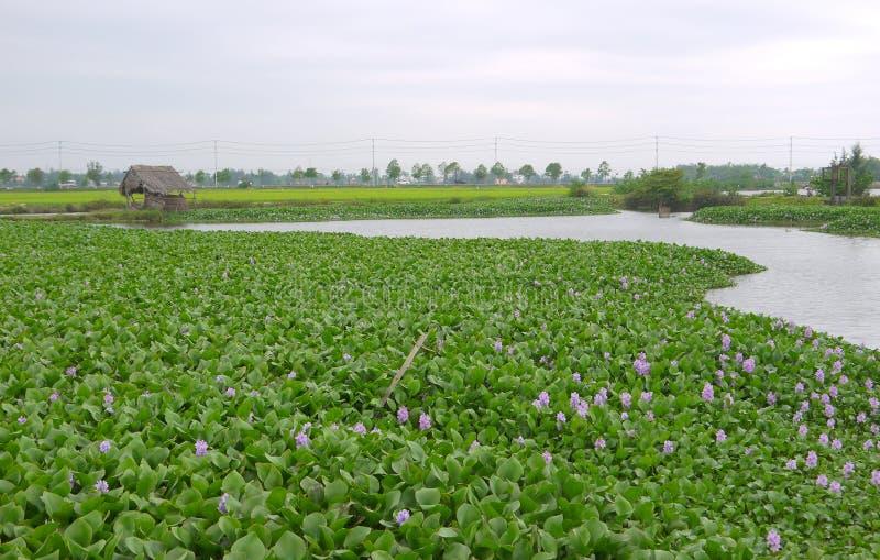 Groot gebied van purpere gemeenschappelijke waterhyacint met doorstane strohut stock foto's