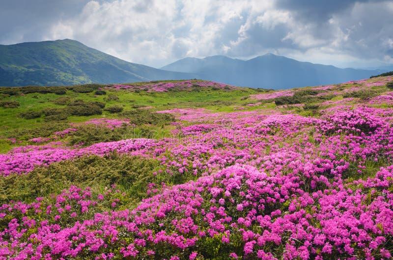 Groot gebied van roze bloemen in de bergen royalty-vrije stock foto