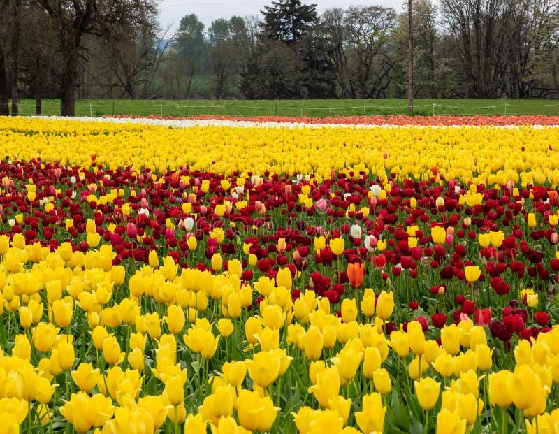 Groot gebied van tulpen met boom royalty-vrije stock foto