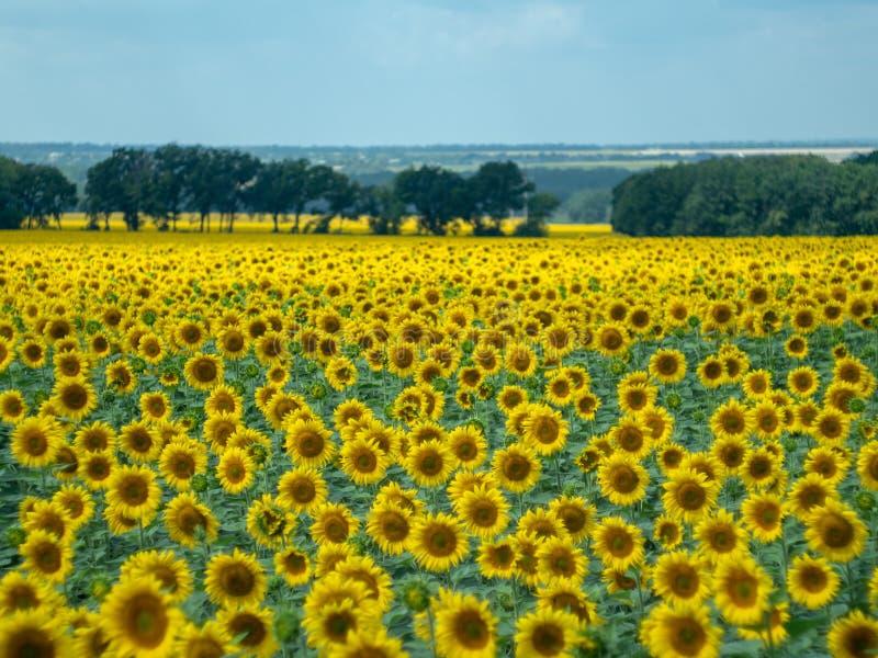 Groot gebied van zonnebloemen met verre struik en groene bomen bij de zomer Landelijk landschap Het gele landbouwgebied bloeien stock afbeeldingen