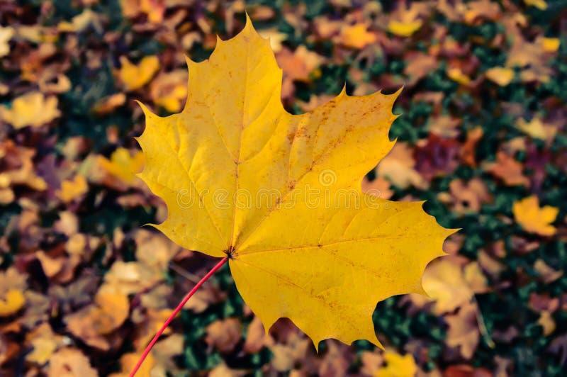Groot geel esdoornblad op vage de herfstachtergrond stock foto's