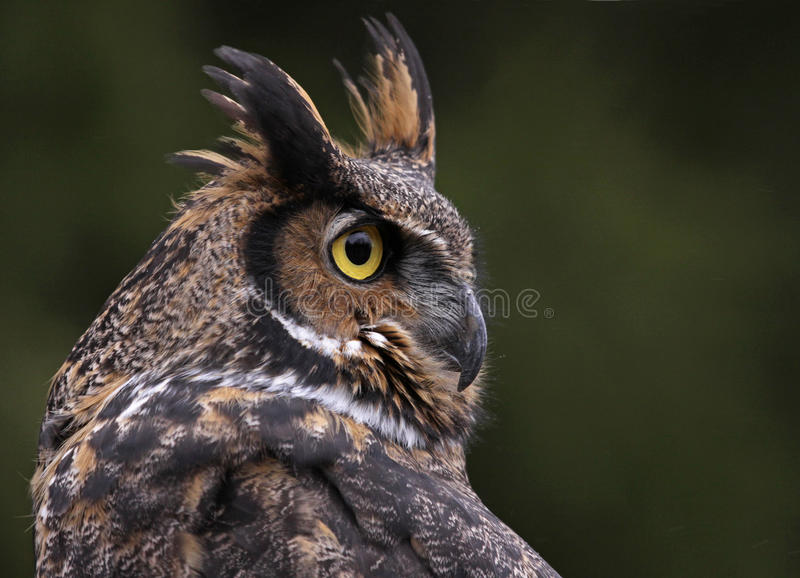 Groot Gehoornd Owl Close-Up stock foto