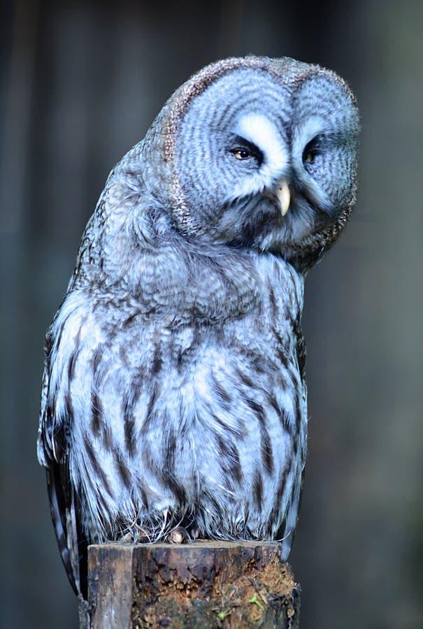 Groot Gray Owl die juiste onder ogen ziende camera leunen stock foto