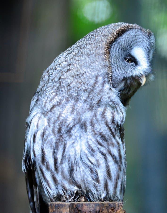 Groot Gray Owl die met hoofd aan het recht draaien stock fotografie