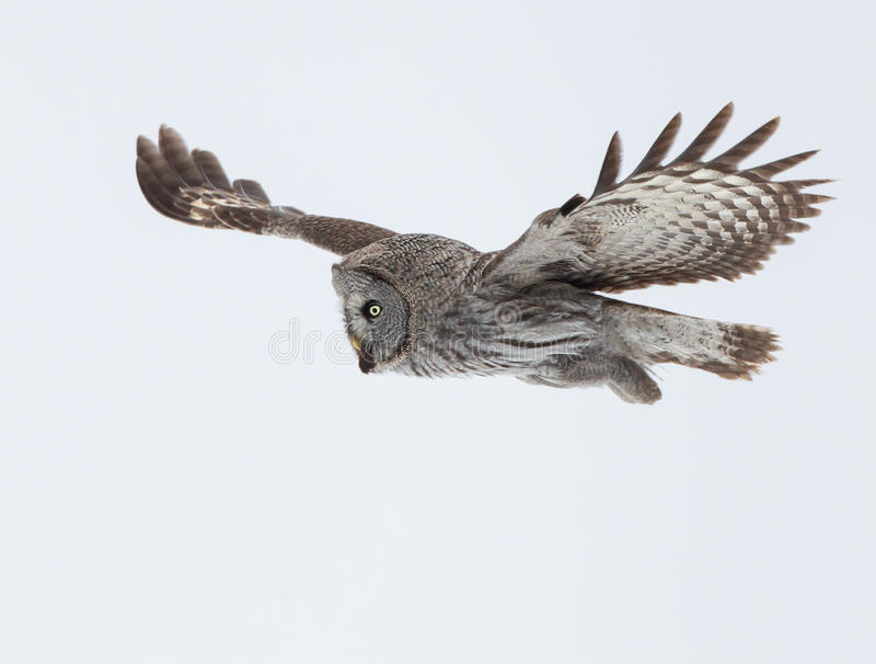 Groot Grey Owl (Strix-nebulosa) stock foto