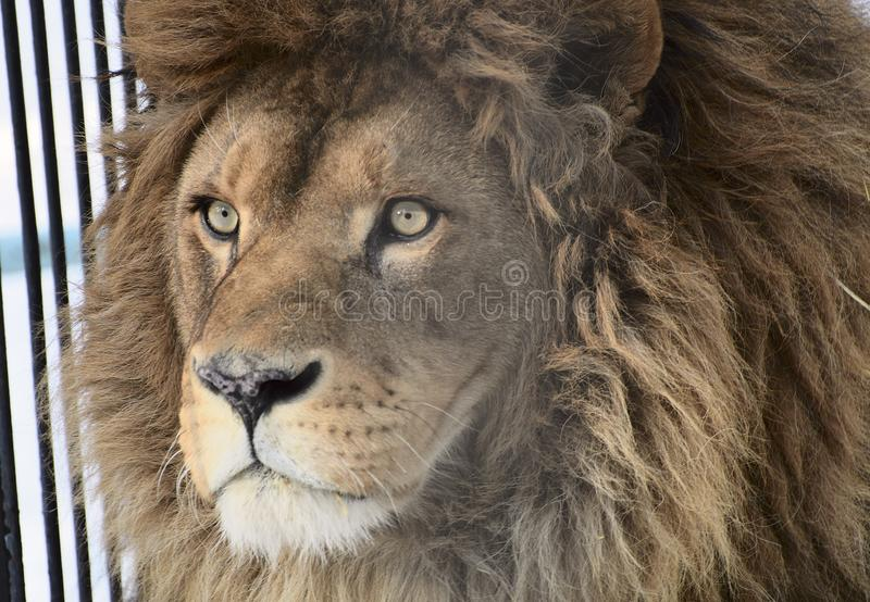 Groot hoofd Afrikaans leeuwclose-up royalty-vrije stock foto