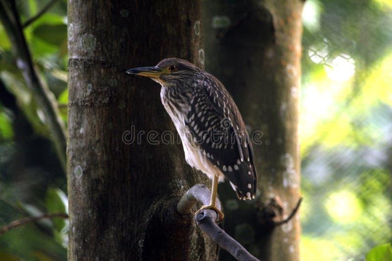 Groot Indisch Grey Heron stock afbeeldingen