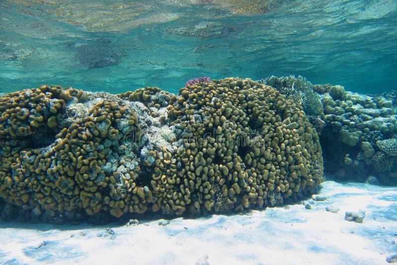 Groot kleurrijk koraal op witte zeebedding royalty-vrije stock foto's