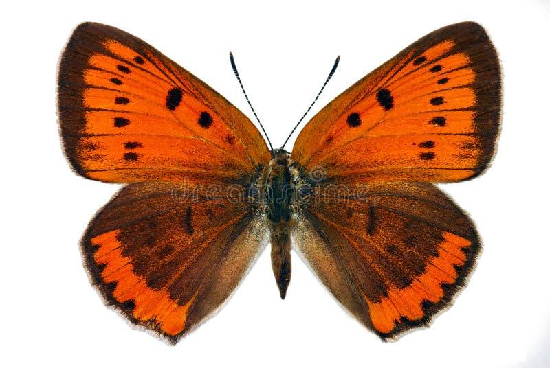 Groot Koper (dispar Lycaena) royalty-vrije stock foto