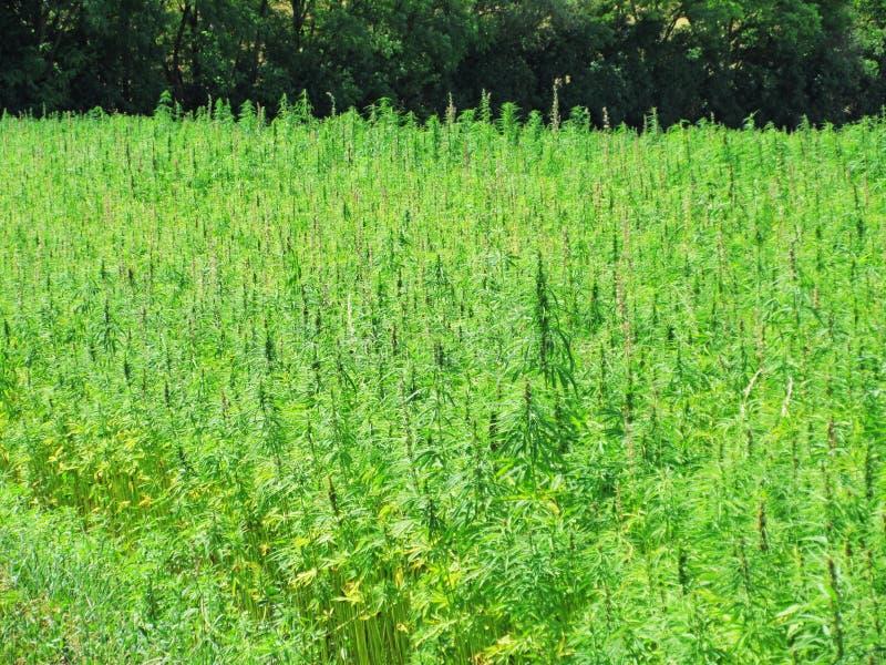 Groot marihuanagebied met bos op achtergrond royalty-vrije stock foto's