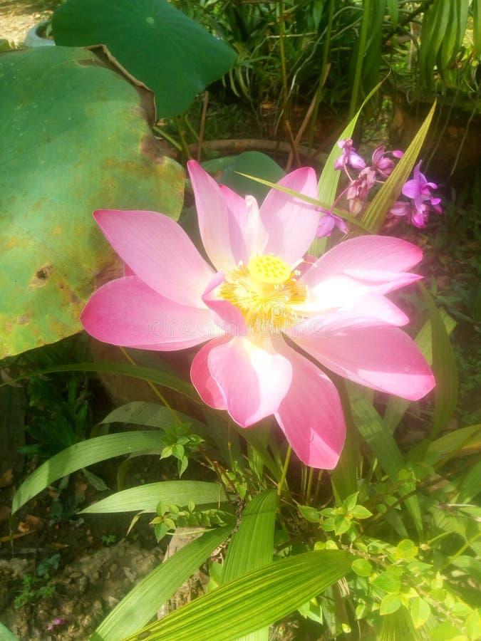 Groot mooi Lotus in het bos stock foto's
