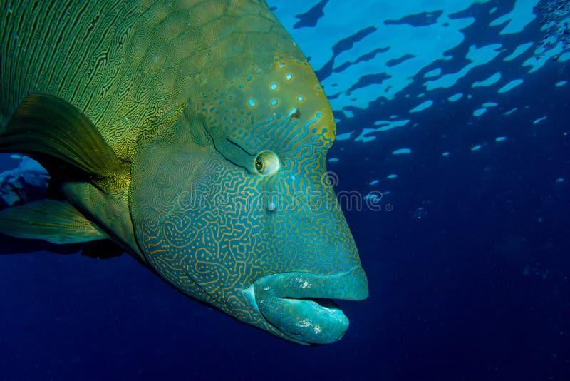 Groot Napoleon Fish royalty-vrije stock afbeeldingen