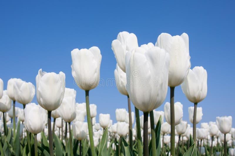 Groot gebied van witte tulpen en een blauwe hemel royalty-vrije stock fotografie