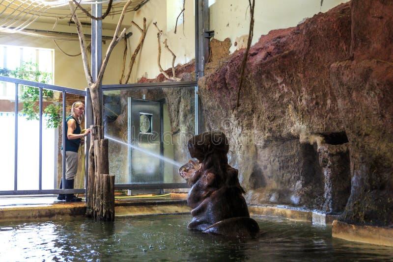 Groot Nijlpaard binnen Pool die zijn Bewaarder spelen stock foto