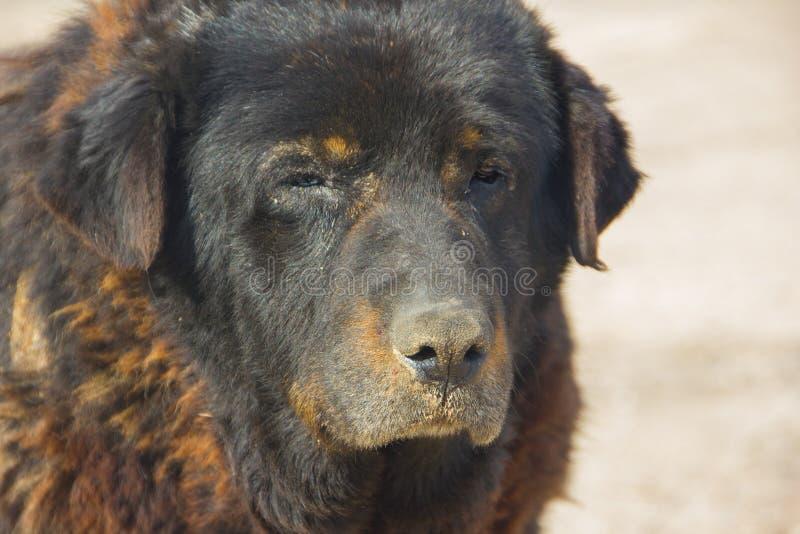 Groot, oud hondclose-up Zeer oud, dakloos, stock fotografie