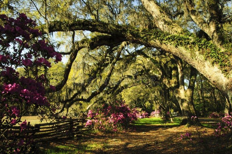 Groot oud Live Oak Trees met Spaans mos druipen en de varens die in de lente bij een Azalea tuinieren stock foto