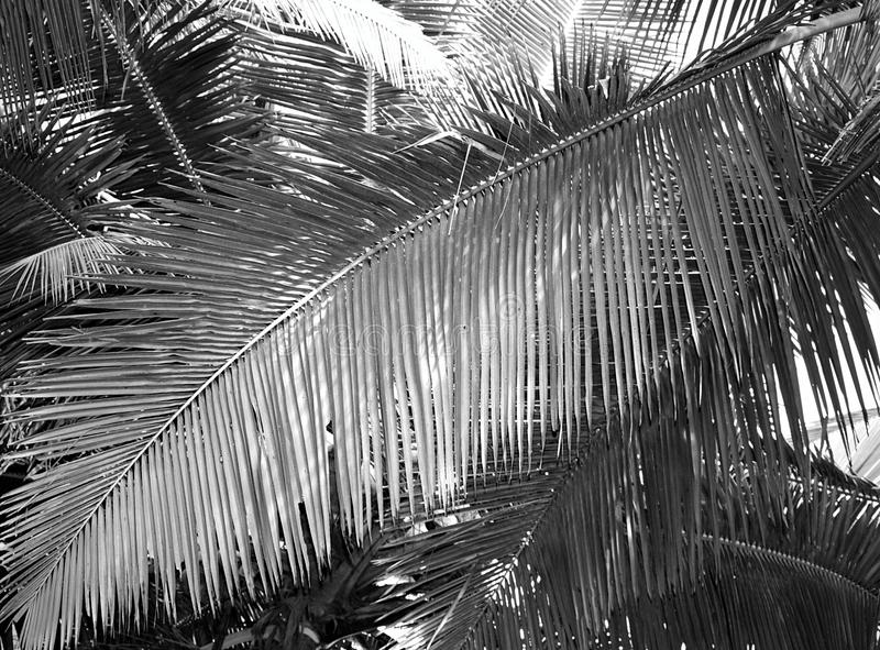 Groot Palmblad - Abstracte Achtergrond in Grey Scale stock foto's