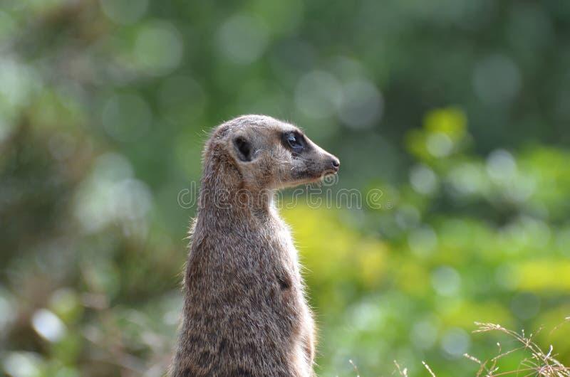 Groot Profiel van een Meerkat stock afbeelding