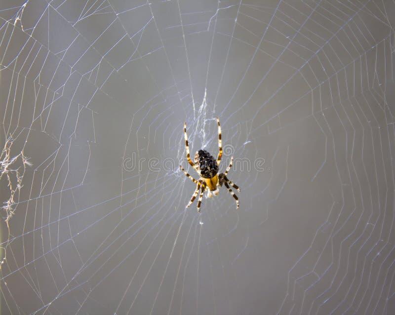 Groot spin of insect op het Web stock foto's