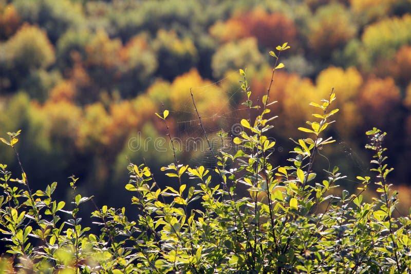 Groot spinneweb op de takken van berberis Onscherp de herfstbos op achtergrond, groene, rode, oranje kleuren stock afbeeldingen