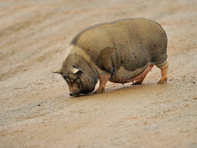 Groot varken stock foto's