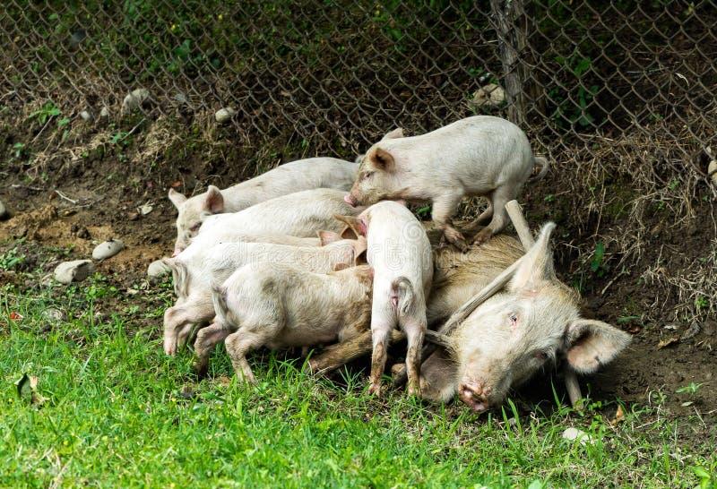 Groot varken die piggies fedding stock foto