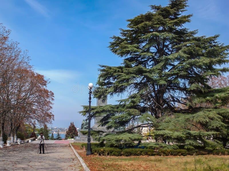 Groot voorbeeld van de mooie grote en oude Cedar Tree Cedrus-libani of Ceder van Libanon Cameraman in grijze sweater met camerasp royalty-vrije stock foto's