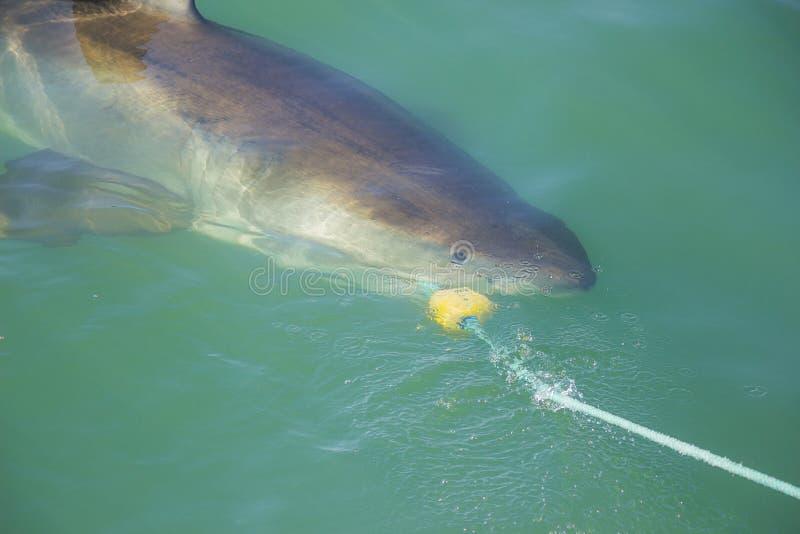 Groot Wit Haai het Bijten Valstrik en Aas stock afbeelding