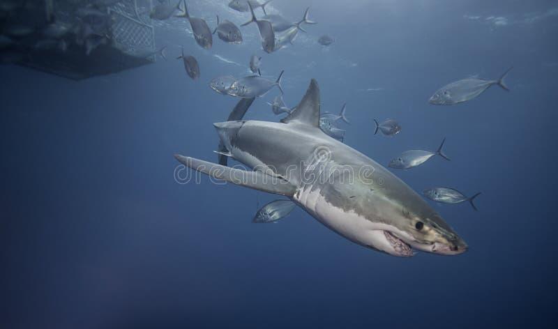 f7055040ae65fb Witte haai onderwater stock afbeelding. Afbeelding bestaande uit ...