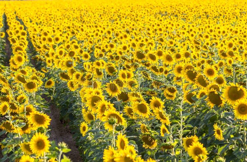 Download Groot zonnebloemgebied stock afbeelding. Afbeelding bestaande uit farming - 107700917