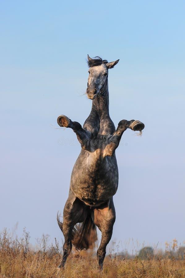 Grootbrengend grijs paard stock fotografie