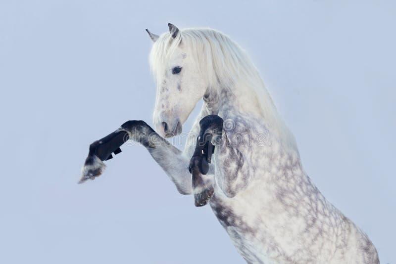 Grootbrengende hengst royalty-vrije stock fotografie