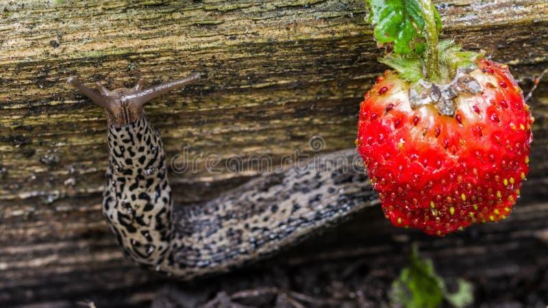 Grootste luipaardnaaktslak die dichtbij aardbeien kruipt Landbouwongedierte royalty-vrije stock foto