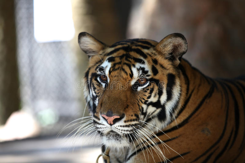 Grootste vertegenwoordiger van de familiekat - een tijger, Thailand stock afbeeldingen