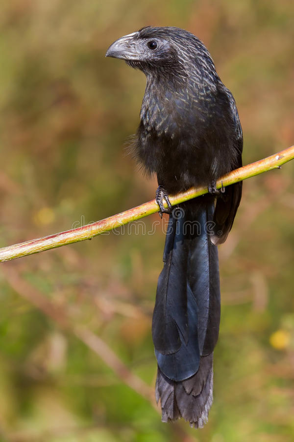 Groove-billed Ani (Crotophaga sulcirostris) royalty free stock images