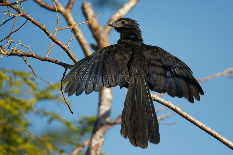 Groove-billed Ani - Crotophaga sulcirostris tropical bird in the cuckoo family, long tail and a large, curved beak. Resident royalty free stock photo
