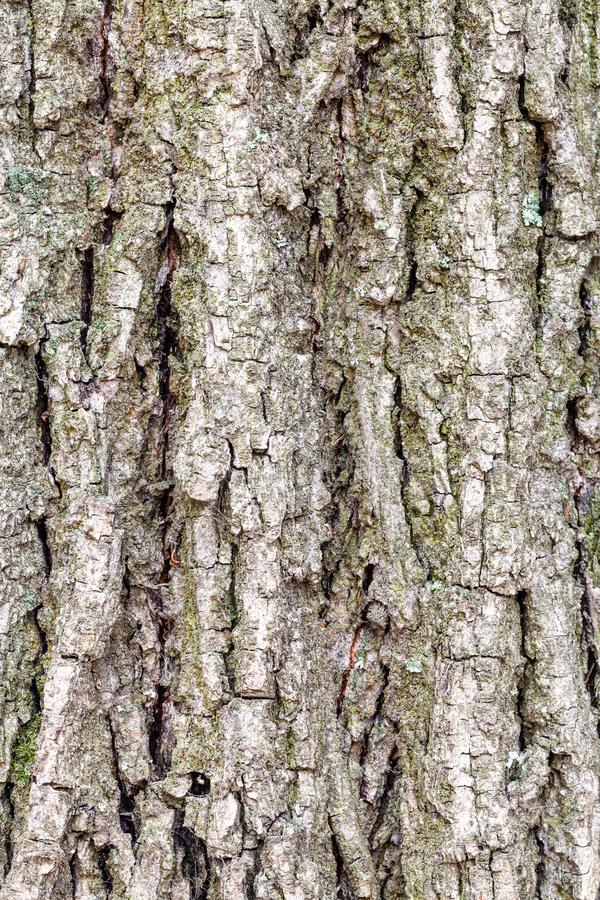 Grooved bark on old trunk of poplar tree close up royalty free stock photography