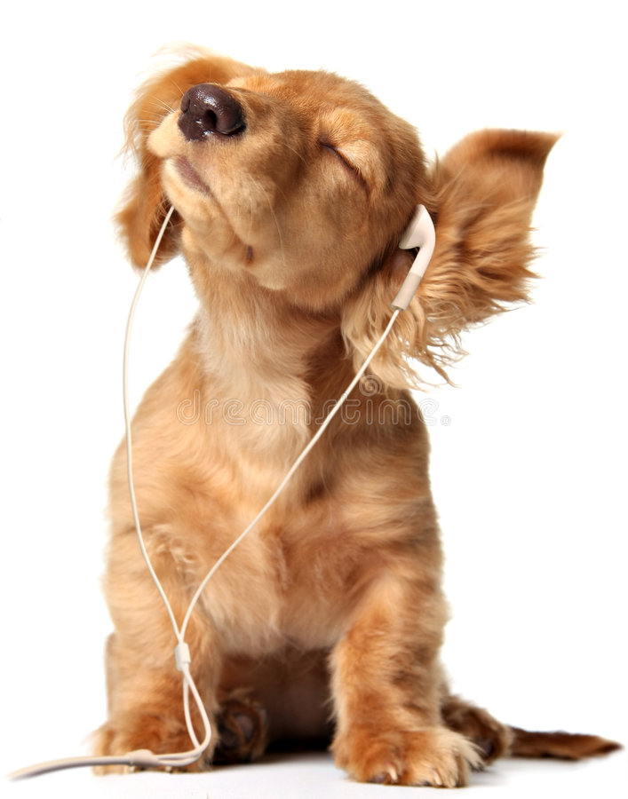 Grooving puppy. Young puppy listening to music on a head set