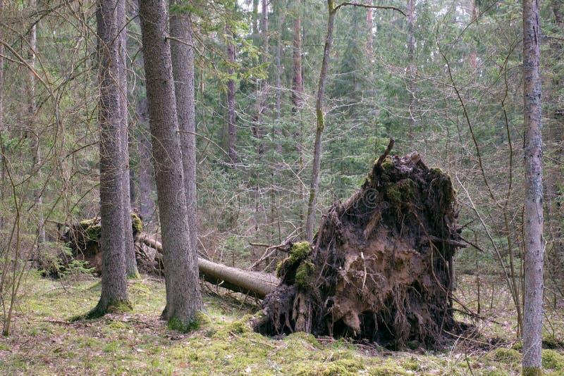 Gropu des gezierten Baums nahe bei Windsturm defektes  lizenzfreie stockbilder