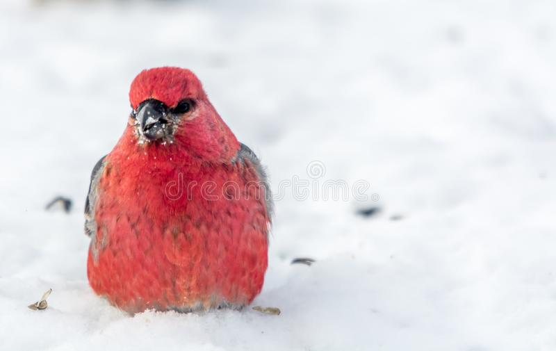 Gros-bec de pin célébrant la nouvelle année en mangeant des graines sur la neige photos stock