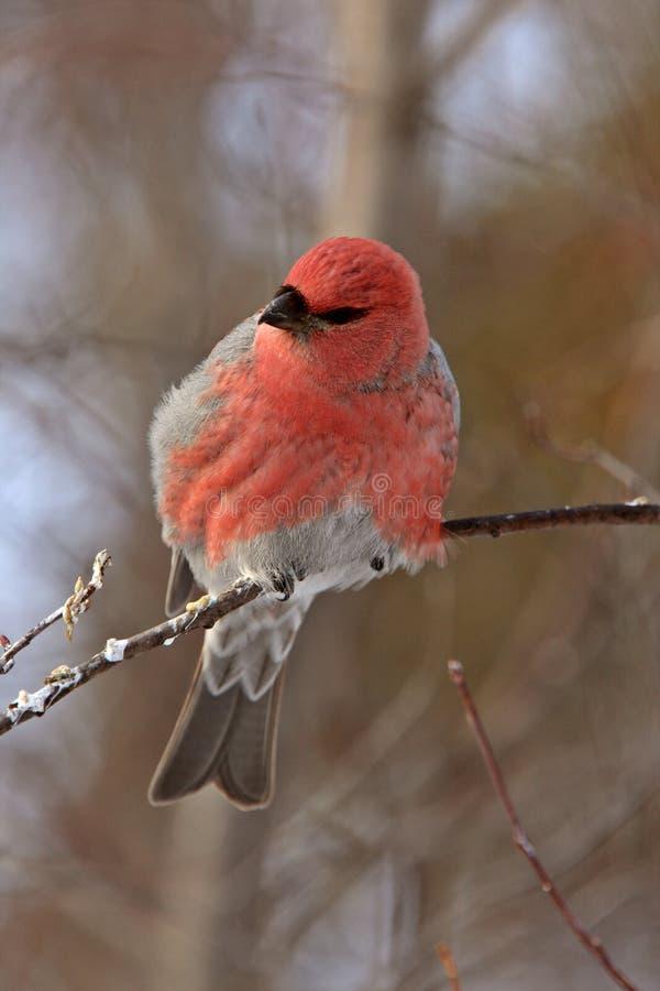 Gros-bec de pin en hiver image libre de droits