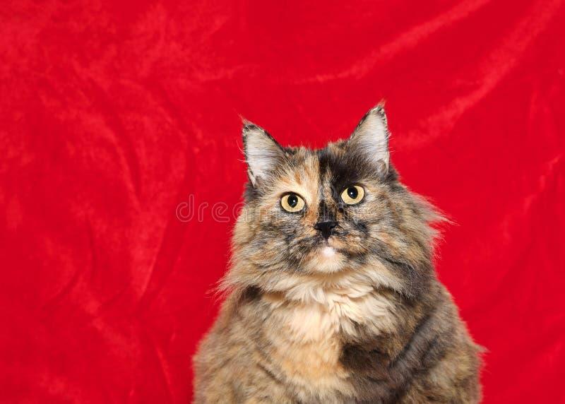 Gros chat de tortoishell sur le fond rouge de Noël images libres de droits