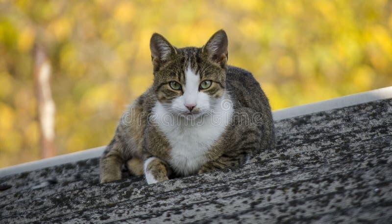 Gros chat sur le dessus de toit images stock