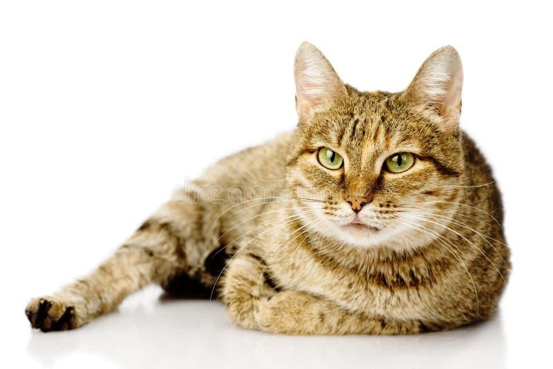 Gros chat Sur le fond blanc photographie stock